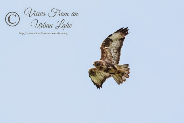 Common Buzzard - Wolverton Mill, Milton Keynes