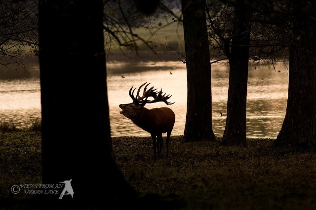 Red Deer in Silhouette early in the morning (sunrise)