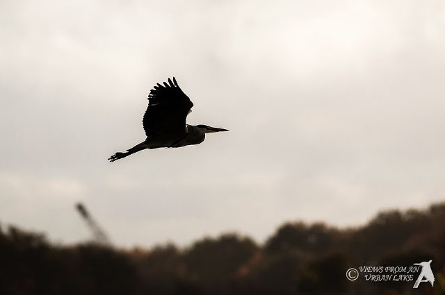 Grey Heron in Silhouette - Manor Farm, Milton Keynes