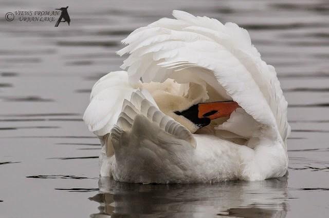 Mute Swan - Willen Lake