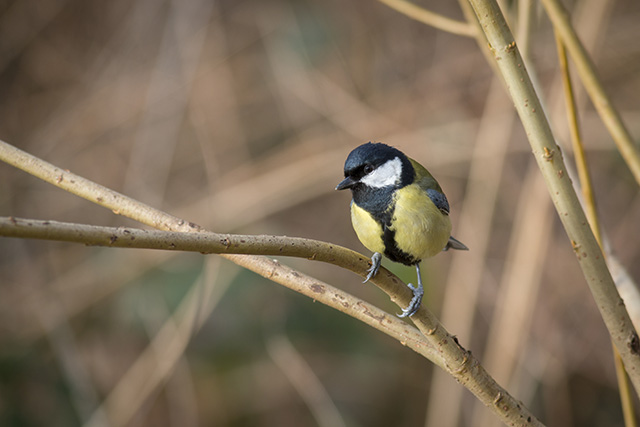 Anther Great Tit