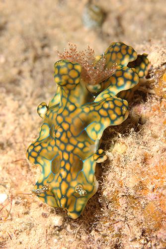 Ishigaki nudibranch