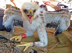 Poll de l'àliga cuabarrada anellat al Parc Natural del Cap de Creus