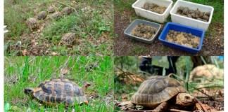 Tortuges alliberades al Paratge Natural de l'Albera
