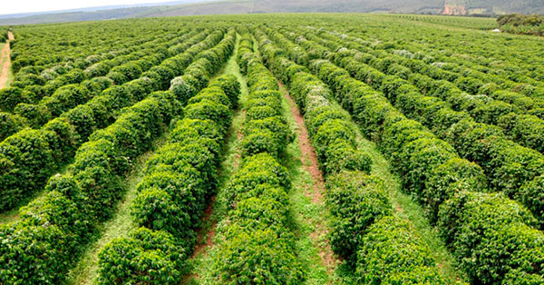 Área de cultivo de café