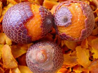 Fruto do Buriti