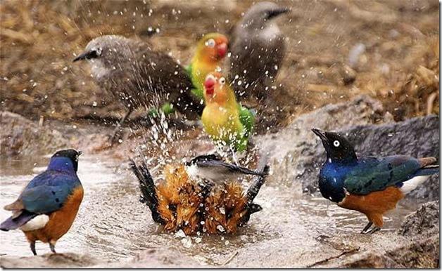 Banho coletivo de passaros