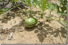 Aqui a melancia já tem uns 6 cm