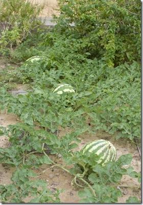Aqui três melancias e como elas dominaram a minha horta