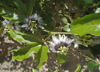 Flores do maracujá que cresceu sozinho