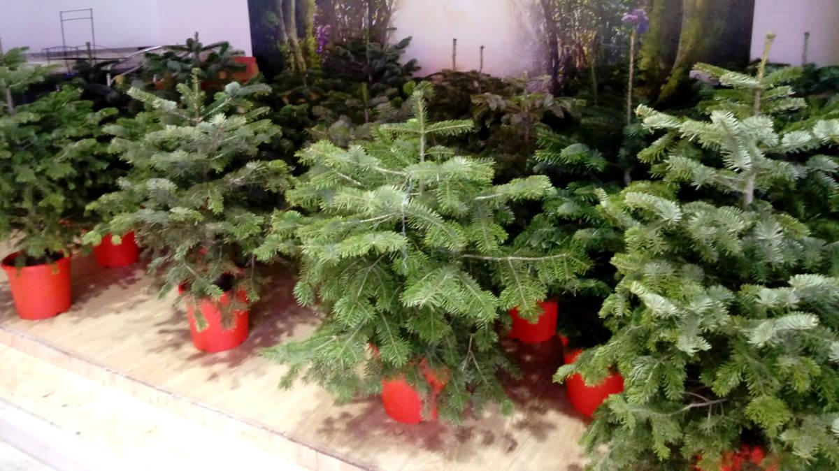 arbres Vilanova Comerc 3
