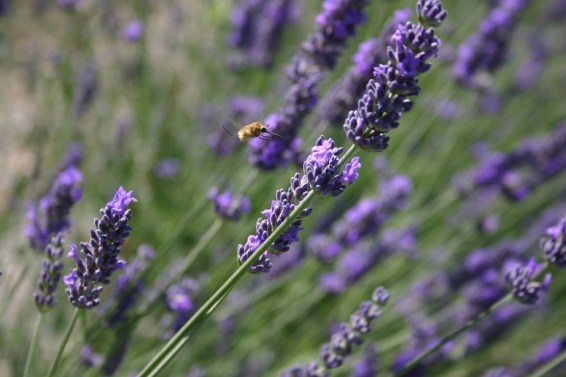 Lavender at villa in Umbria