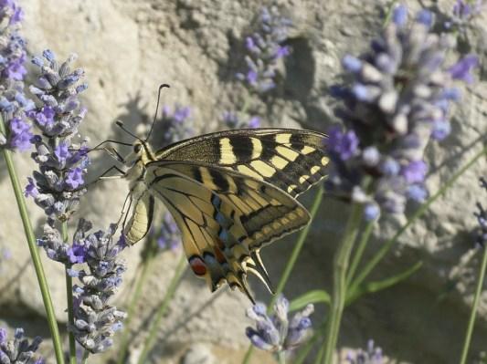 Butterfly at Villa Bastiola