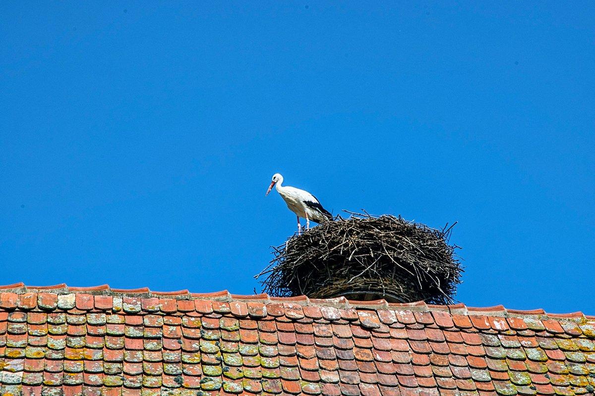 Cigogne sur un toit Alsacien