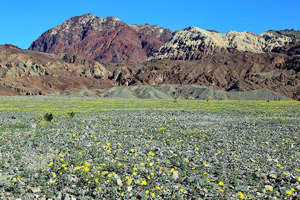 Death-Valley-Flowering_2