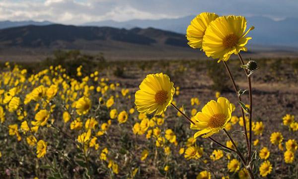 Death-Valley-Flowering_3