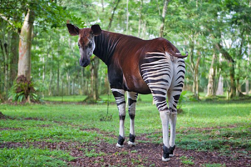 非洲罕有物種㺢㹢狓被戰火和人類經濟活動威脅,已近乎走投無路,數目大幅下降。「百年之身」可能不保…