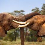 為求生存,野生大象「長不出象牙」。人類盜獵令非洲象朝這個方向演化⋯⋯