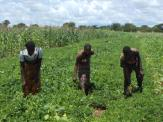Three youths in thier joint peanut field