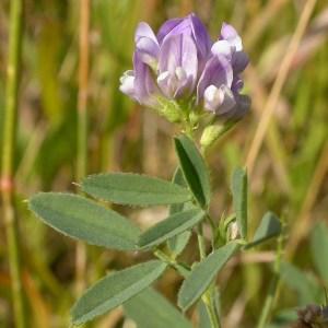 village herbals bulk herbs alfalfa medicago_sativa