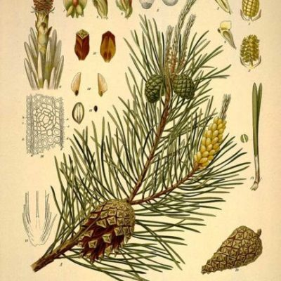 Vitamin C-hristmas Tree:  The Pine Tree as Medicine