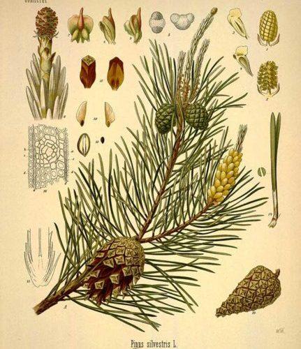 Vitamin C-hristmas Tree: The Pine Tree as Medicine