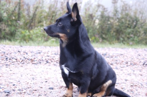 Lancashire heeler Lola, Hightide's Black Beauty