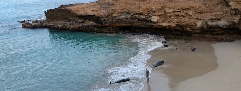 stranded whales on maio