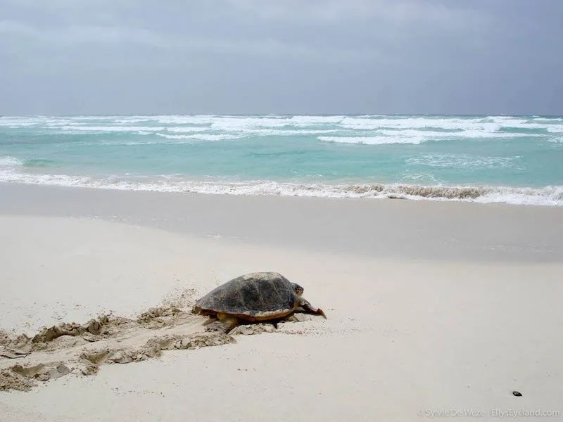 turtle watching maio cape verde
