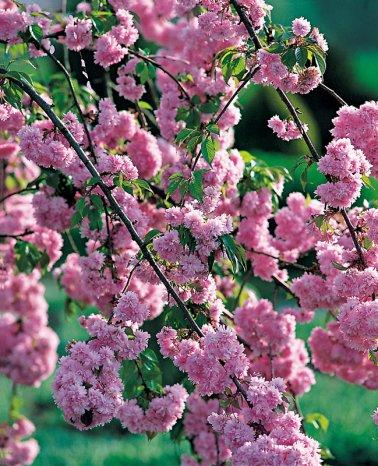 cerisier du japon demi tige baliveau
