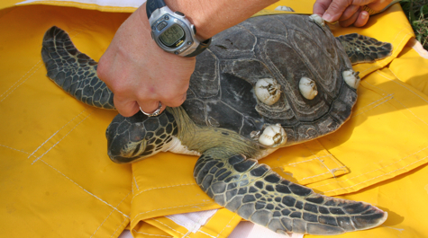 VIMS tags and releases green sea turtle  Virginia