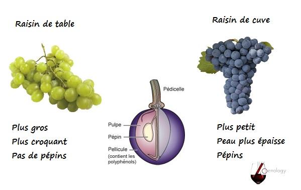 Raisins de table vs raisins de cuve illustration par Vin & Oenologie