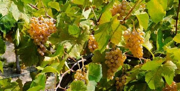 Parmi les cépages blancs des vins de Provence la Marsanne