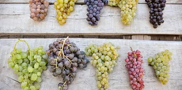 Quel raisin pour le vin rosé ?