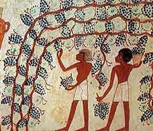 Cueillette du raisin rouge
