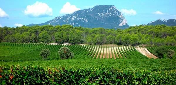 Vignoble au pied du Pic Sant Loup Languedoc Roussilon
