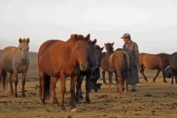 chevaux de Mongolie troqués contre du thé