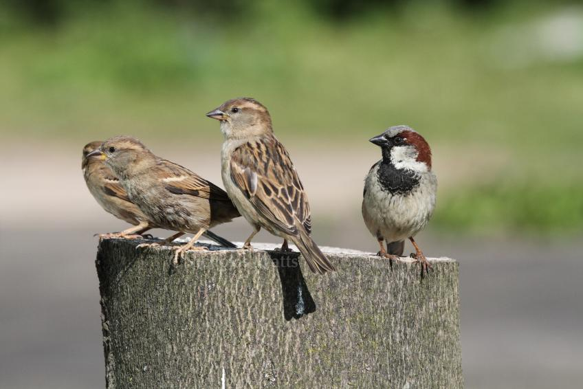 House Sparrow  Bird Information Photos  Videos  Vine