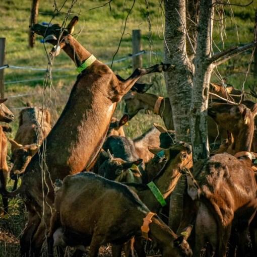 Goats cheese farm