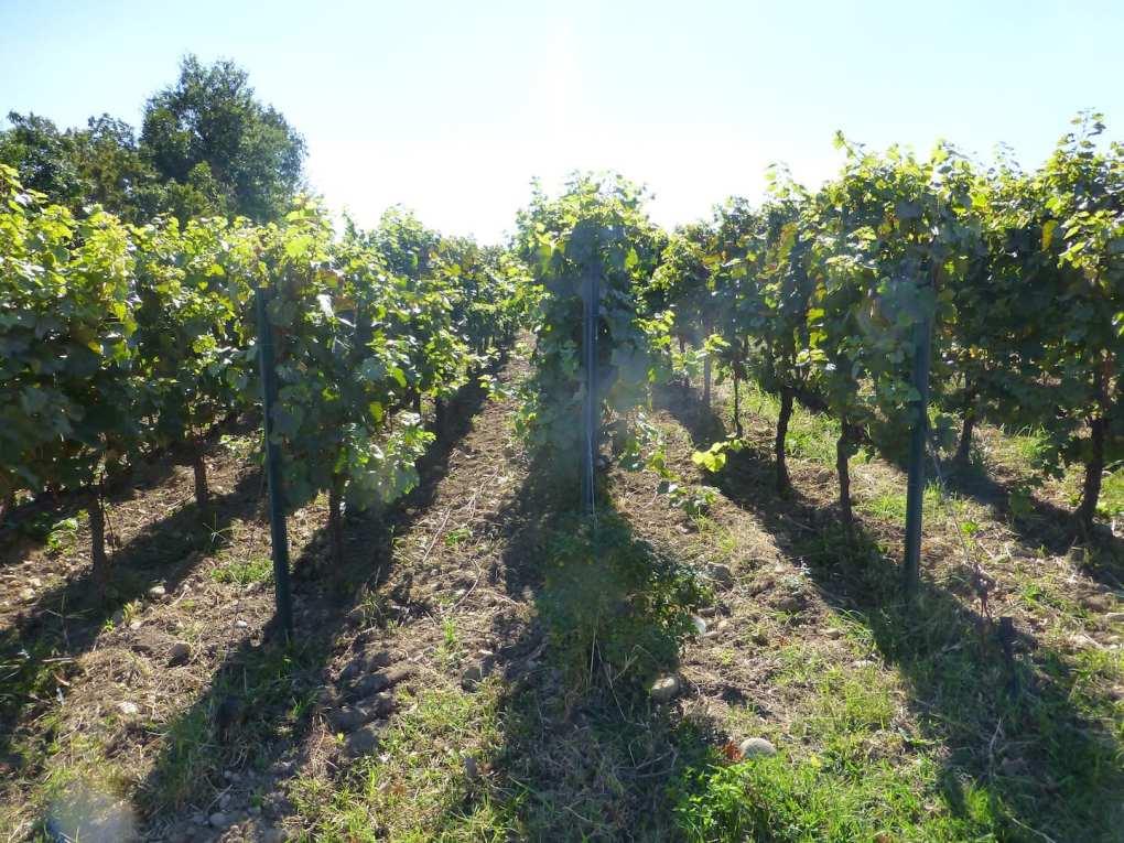 Come si fa il vino in vigna