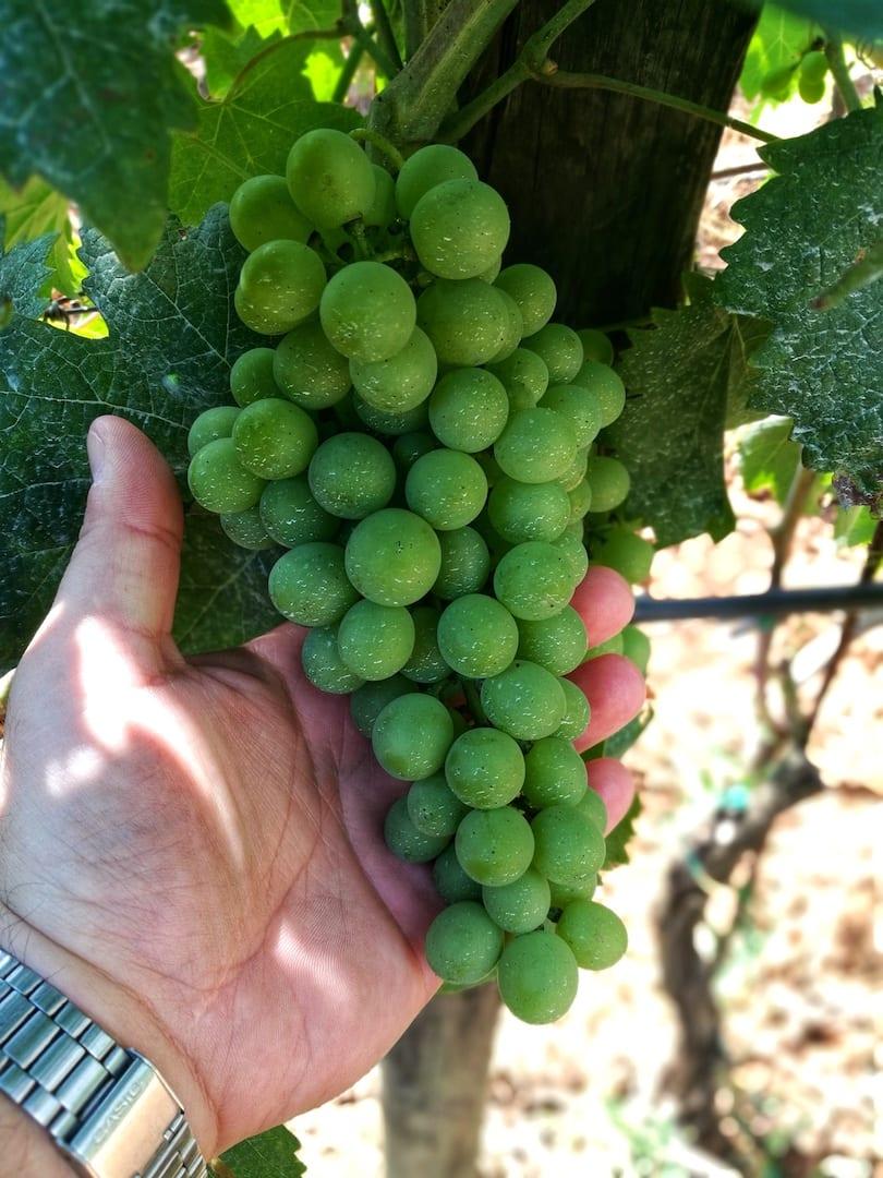 Le uve di Bulichella prima dell'invaiatura