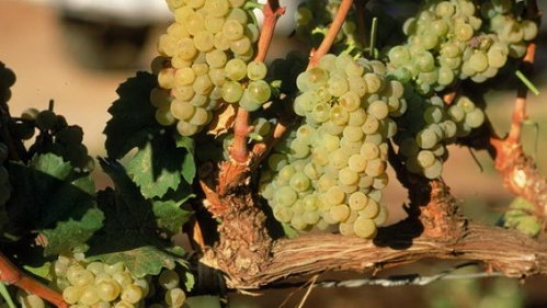uva chardonnay - copia