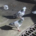 Vanier College Conspiracies: What's the Deal with Pigeons?