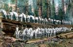 Cavalry Troop shown standing on Redwood Tree