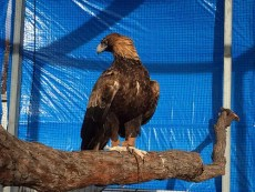 Sammy the Wedge Tail Eagle