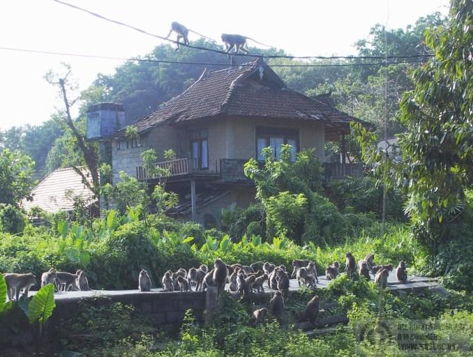 Monkeys on the path towards Ubud