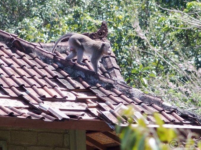 Monkey damage to roof, Nyuh Kuning