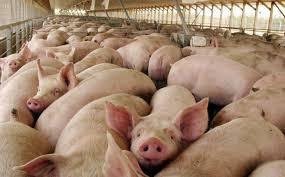 """Capacitación en Paz de Ariporo gratis  """"Buenas Prácticas de Granjas Porcicola"""" con el Fondo Nacional de la Porcicultura cel. 312 530 9645"""