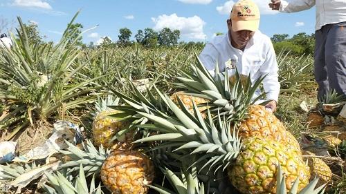 Producción de piña en Colombia llegaría a más de 950 mil toneladas en 2018.