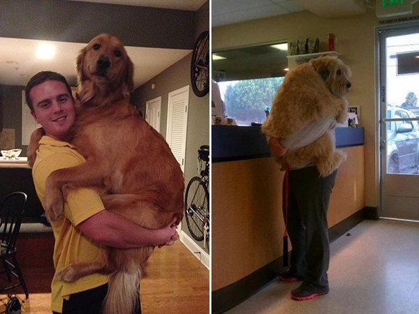 當這21隻巨犬誤以為自己還是小狗,充滿愛心的主人們實在也吃不消!